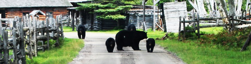 Bear Facts About Saguenay Lac-Saint-Jean