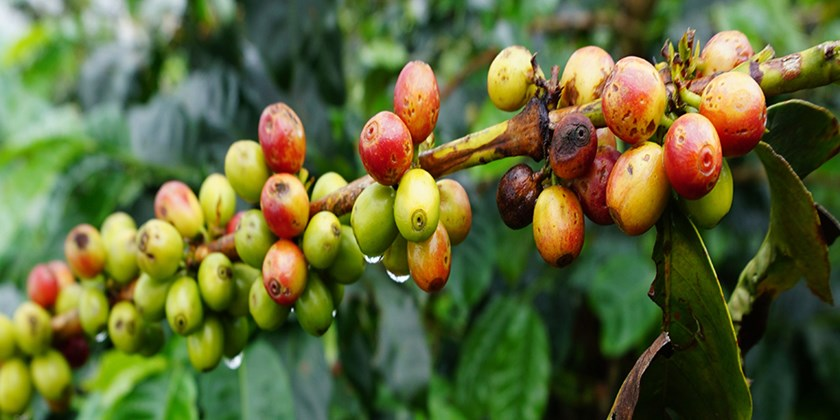 In Colombia, Mr. Coffee Keeps Traditions Alive